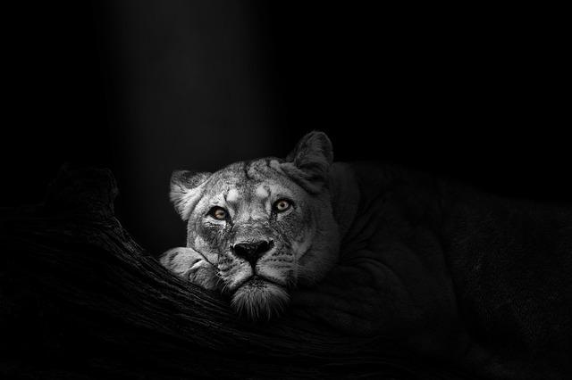 Die Löwin ist müde